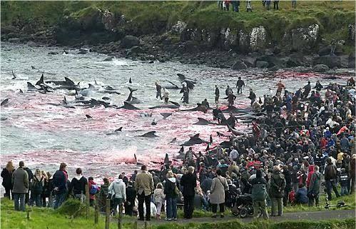 Danimarka'daki geleneksel yunus öldürme festivalinden vahşet görüntüleri isyan ettirdi - Sayfa:1