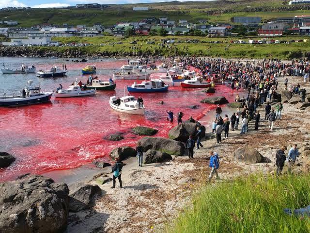 Danimarka'daki geleneksel yunus öldürme festivalinden vahşet görüntüleri isyan ettirdi - Sayfa:3